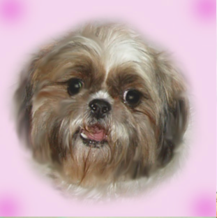 "The photo Peke-A-Tzu Rescue posted of Jules under ""Available Dogs"""