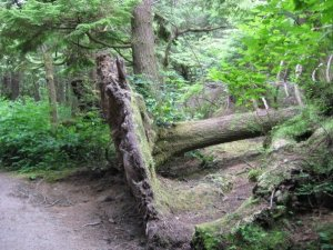 One of the uprooted trees that were found along the trail to Second Beach.